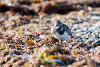 Turnstone feeding amongst the seaweed