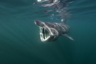 Basking shark feeding on planton ©Alexander Mustard/2020VISION