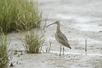 Curlew on mudflat © Terry Whittaker/2020VISION