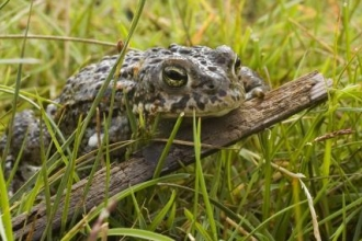 Natterjack toad at Red Rocks Marsh © Rose Manby