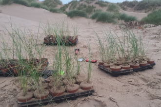 Marram Grass Plug Planting