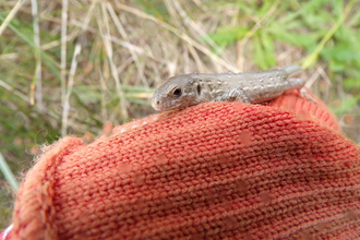 Sand Lizard before re introduction.  © Jeff Gorse