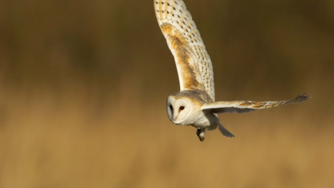 Barn owl | Living Seas North West