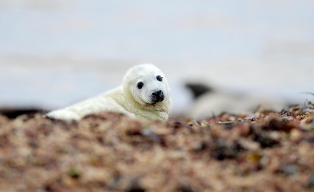 Seal pup at South Walney Nature Reserve. Photo: Lindsey Dickings NW Evening Mail