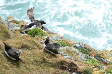 Razorbills. Photo: Alice Trevail