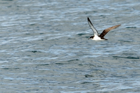 Manx shearwater © Amy Lewis