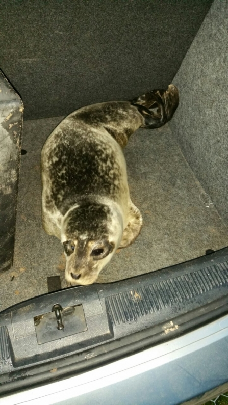 Seal pup in car boot