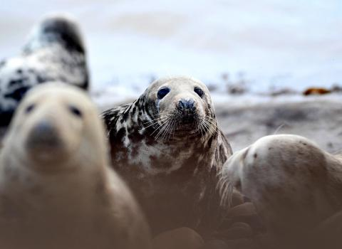 Seals at South Walney Nature Reserve. Photo: Lindsay Dickings NW Evening Mail