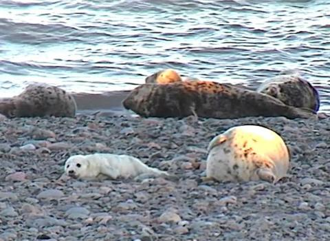 Seals on Walney